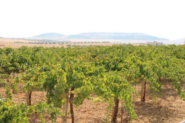 لماذا انخفض محصول العنب في منبج هذا العام؟