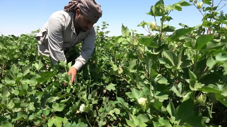 المبيدات التركية فاقمت المشكلة.. مؤشرات لفشل موسم القطن مع قرب جني المحصول