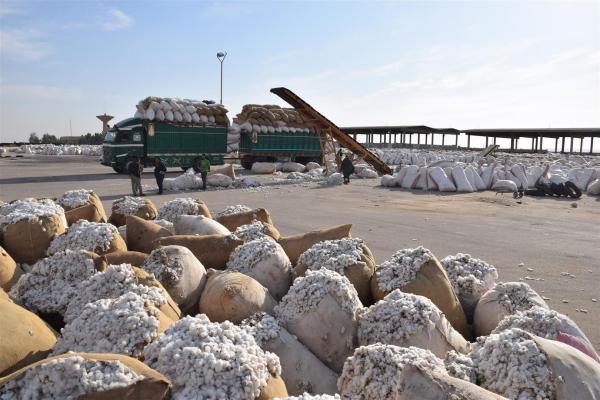بعد الاستئناف محلج الحسكة يستلم 7 آلاف طن من القطن