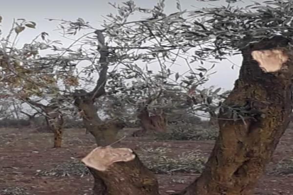 المرتزقة يقطعون المئات من أشجار الزيتون في عفرين