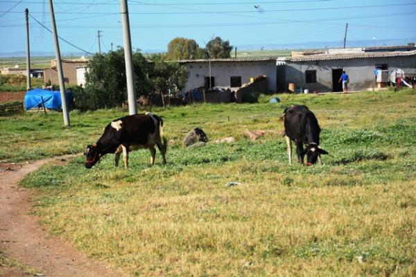 مرض الحمى الزائلة البقرية يظهر في شمال وشرق سوريا