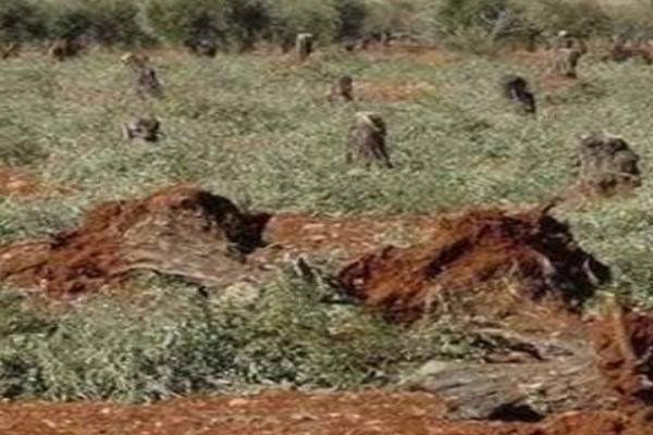 جرائم مرتزقة تركيا تستمر في عفرين.. قطع أشجار للزيتون واختطاف المدنيين