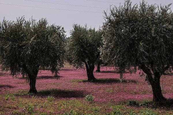 مرتزقة تركيا يستولون على 3500 شجرة زيتون في قرية كفر صفرة