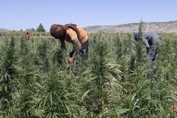 Cannabis turns Afrin into another Afghanistan