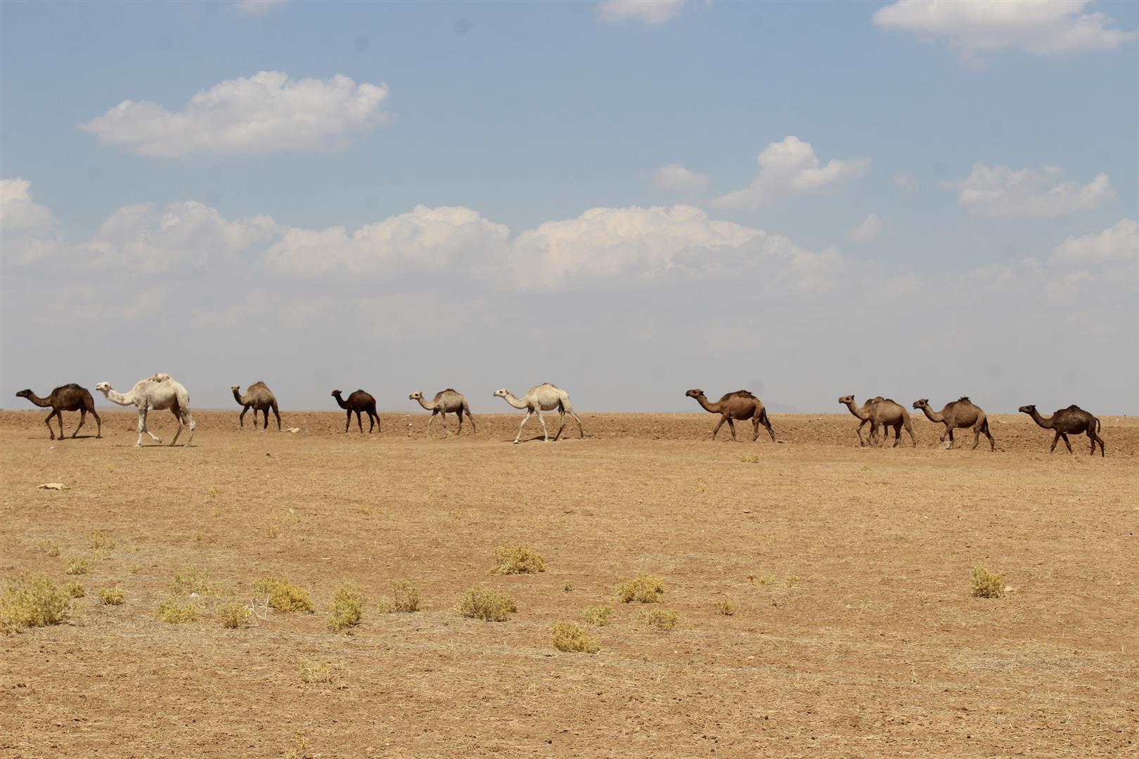 Верблюдоводство в регионе Гырке Лаге и Чель Ага.