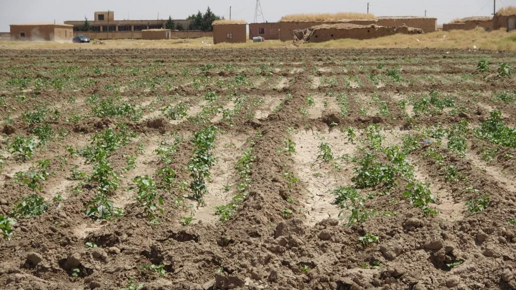 Til Hemîs'te pamuk üretimi yüzde 90 oranında düştü