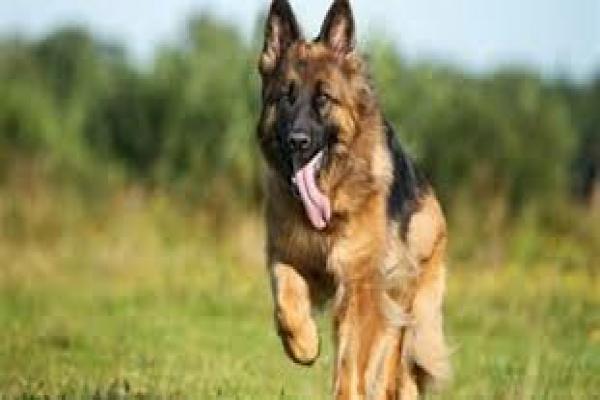 Türk devleti kuduz köpekleri Amudê sınırına doğru saldı