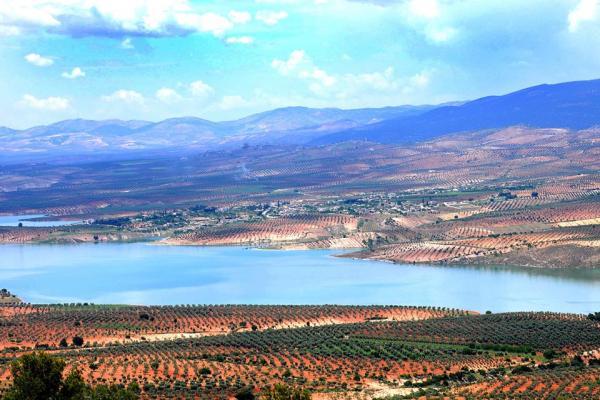 Çeteler Efrîn'de 10 bin zeytin ağacına el koydu