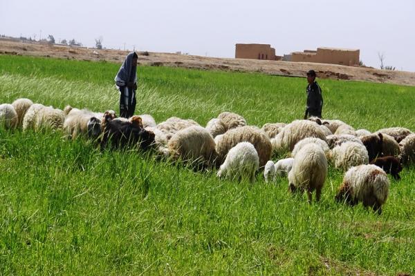 Çiftçiler ekili tarlalarını hayvanlara bırakıyor